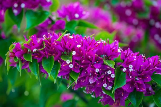 Vibrant Fuchsia Bougainvillea Flowers in Bloom stock photo
