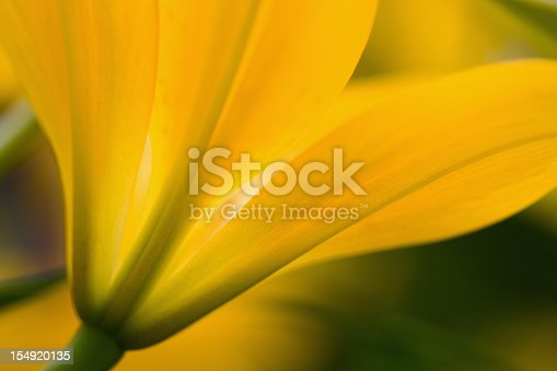 Macro of a vibrant golden yellow Lily in a flower garden.  Shallow depth of field.