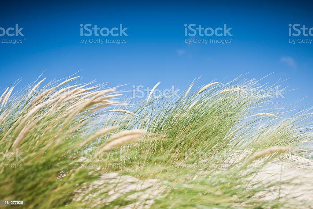 Vibrant grasses on the sand dunes of Crantock Beach stock photo