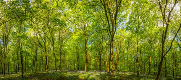lebendige grüne überdachung wald laub über dem idyllischen waldlichtung panorama - baumgruppe stock-fotos und bilder