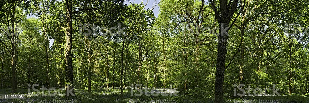 Vibrant green forest tranquil summer sunlight woods panorama royalty-free stock photo