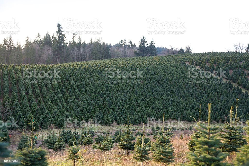 Vibrant Green Hillside Covered with Christmas Trees stock photo