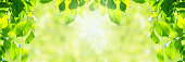 wide horizontal springtime background - fresh vibrant green leaves with shallow depth of field with sunlight beams (copy space)