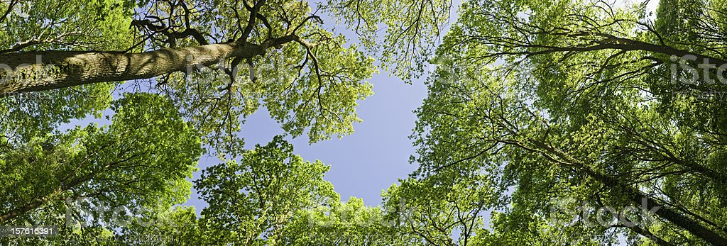 Vibrant green summer foliage wilderness forest canopy blue sky panorama stock photo