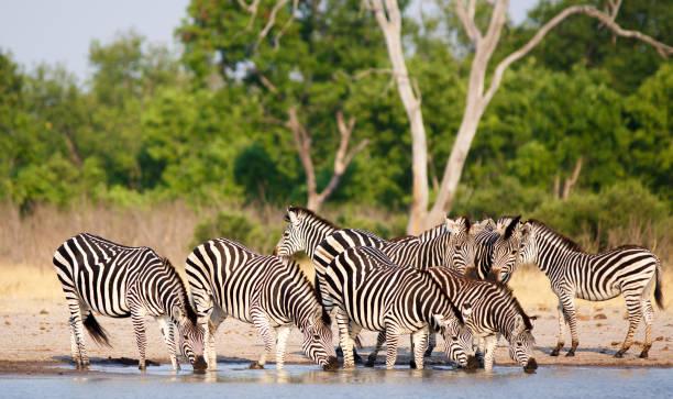 Lebendige Bilder einer Herde Zebras an einem Wasserloch mit üppigem grünen Hintergrund – Foto