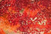 活気のある日本の秋もみじ風景と背景をぼかした写真