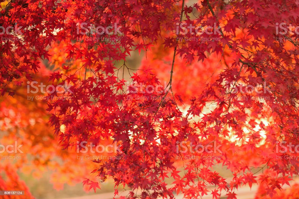 Vibrant Japanese Autumn Maple leaves Landscape with blurred background stock photo