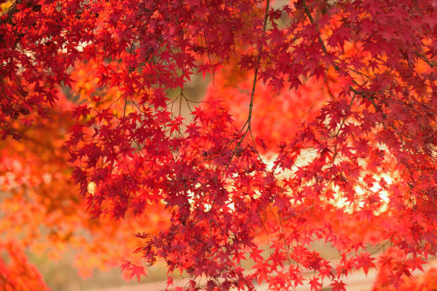 Vibrant Japanese Autumn Maple leaves Landscape with blurred background Vibrant Japanese Autumn Maple leaves Landscape with blurred background in horizontal frame autumn leaf color stock pictures, royalty-free photos & images