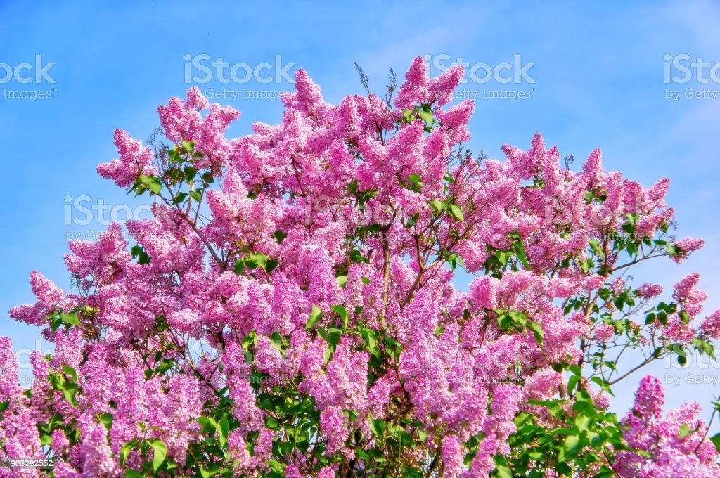 A vibrant multicoloured picture of spring tree of lilac flowers in...