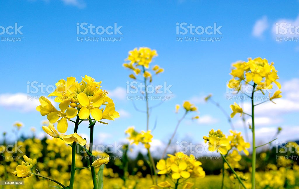 Vibrant Mustard Flowers stock photo