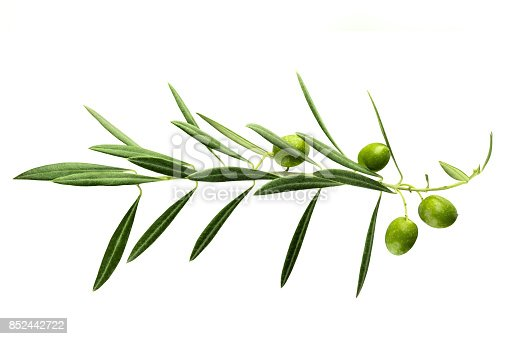 A photo of a vibrant olive tree branch with berries, isolated on a white background