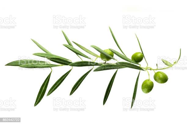 Vibrant olive tree branch with berries on white picture id852442722?b=1&k=6&m=852442722&s=612x612&h=acq6rlyi990hp1mparg0otqws  2fn7etczkysxulnq=