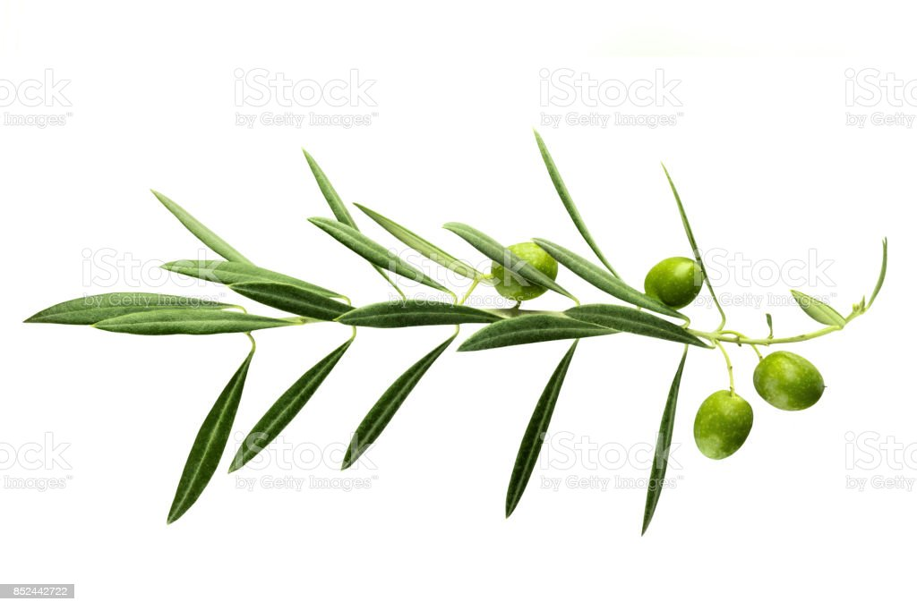 Vibrant olive tree branch with berries on white stock photo