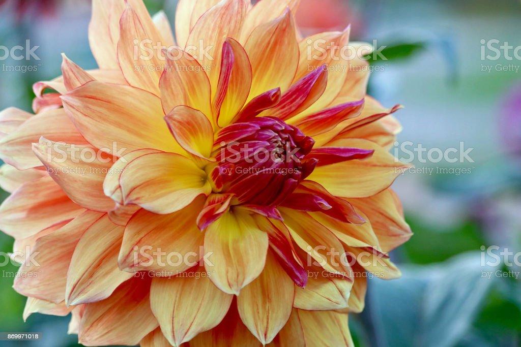 Vibrant Orange Dahlia in Autumn stock photo