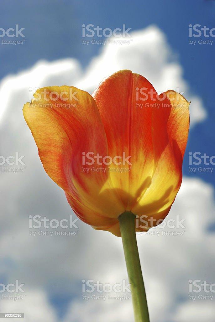 Vibrant Orange Tulip Against Blue Sky royalty-free stock photo