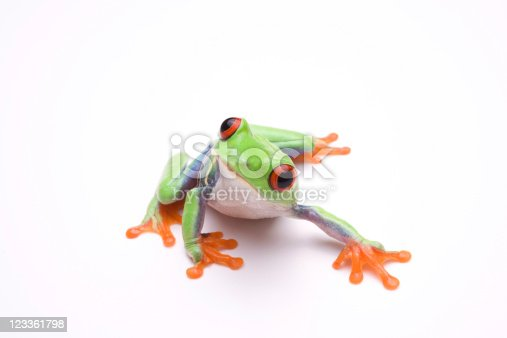 Curious looking red-eyed tree frog on white background