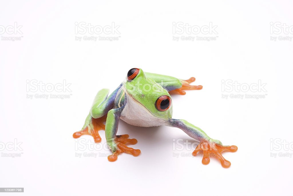 Vibrant photo of a tree frog, on a white background stock photo
