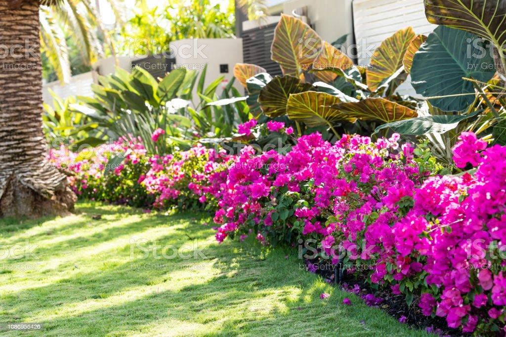 Foto De Flores Buganvilias Rosa Vibrante Em Florida Keys Ou Miami Verde Plantas Paisagismo Paisagistico Forro Porta De Portao De Entrada Calcada Rua Estrada Casa Durante O Verao E Mais Fotos De