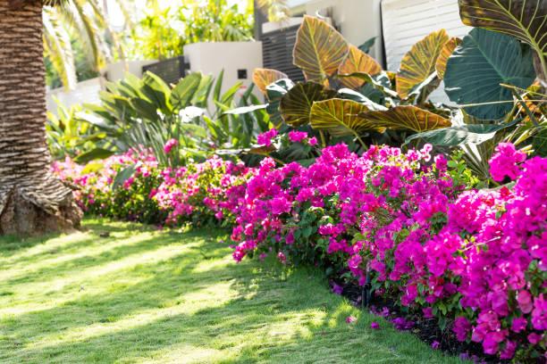 vibrant pink bougainvillea flowers in florida keys or miami, green plants landscaping landscaped lining sidewalk street road house entrance gate door during summer - jardim imagens e fotografias de stock