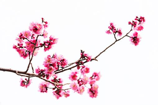 Vibrant Pink cherry blossom or sakura isolated on white