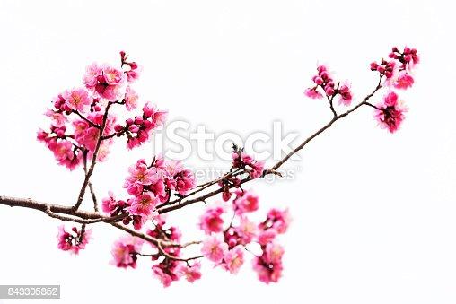Vibrant Pink cherry blossom or sakura isolated on white background