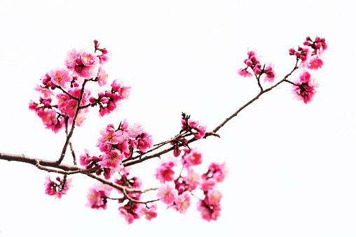 Vibrant Pink cherry blossom or sakura isolated on white