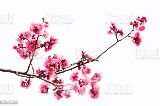 Vibrant pink cherry blossom or sakura isolated on white picture id843305852?b=1&k=6&m=843305852&s=612x612&h=hsmbpganhd1qzo xz6j2xemfho58nltmibplzdw6kfg=