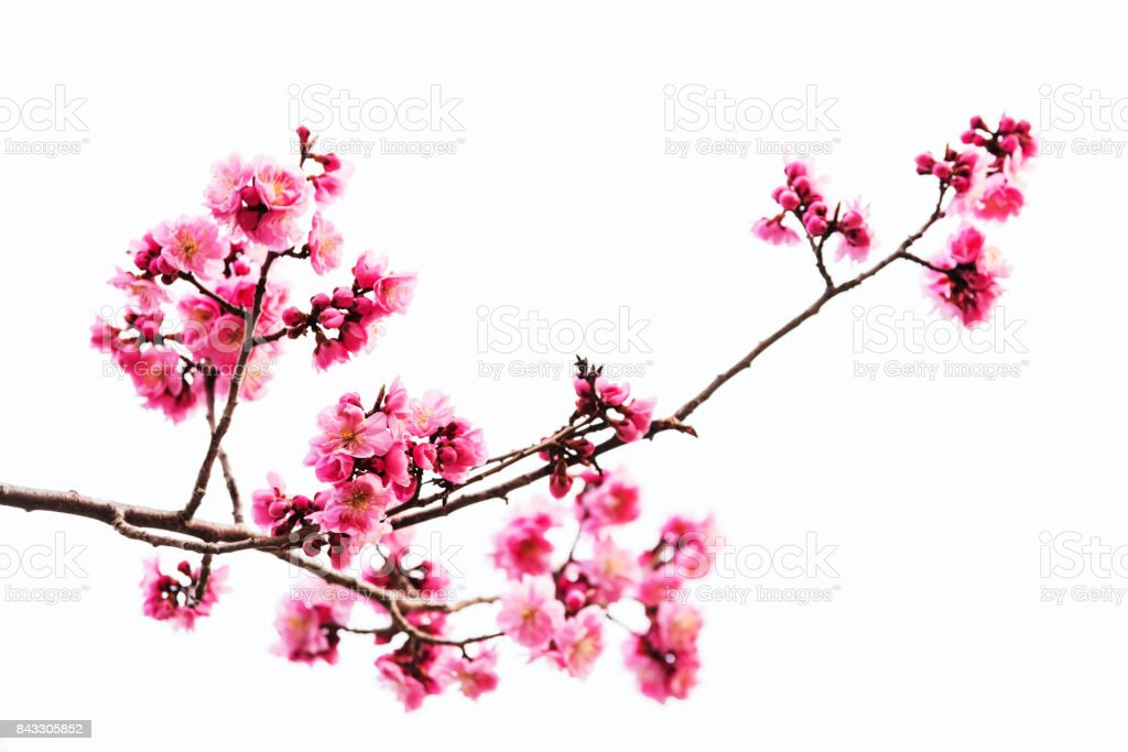 Vibrant Pink cherry blossom or sakura isolated on white stock photo