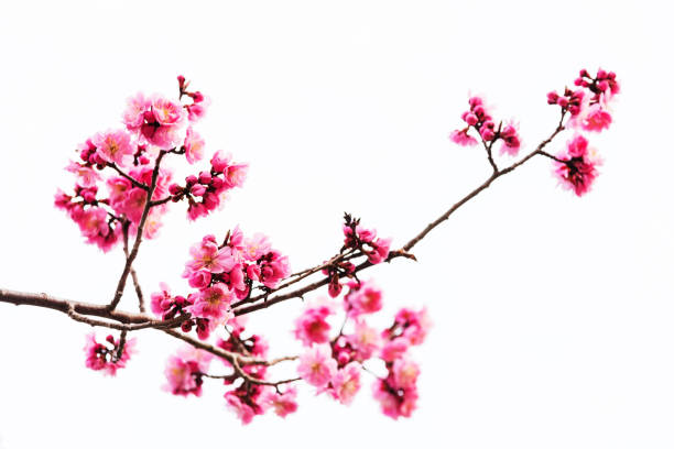 vibrant pink cherry blossom or sakura isolated on white - blossom stock pictures, royalty-free photos & images