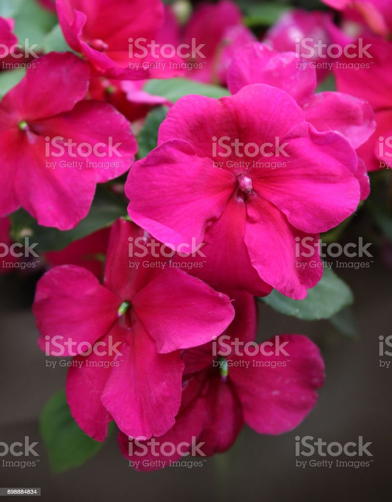 Vibrant Pink Impatiens stock photo