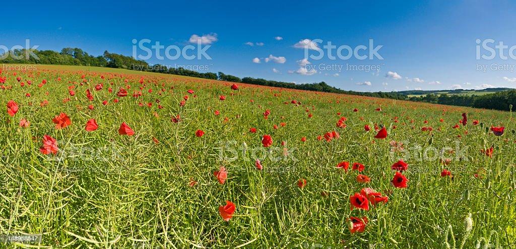 Vibrant poppies biofuel crop royalty-free stock photo