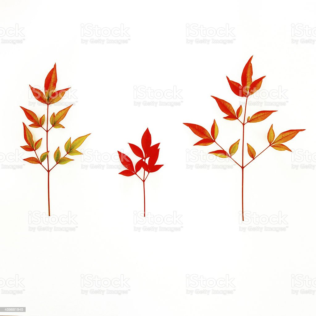 Vibrant Pressed Japanese Leaves stock photo