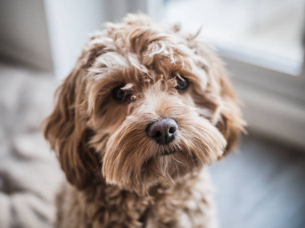 Vibrant Profile Picture of a Cockapoo Puppy Dog stock photo