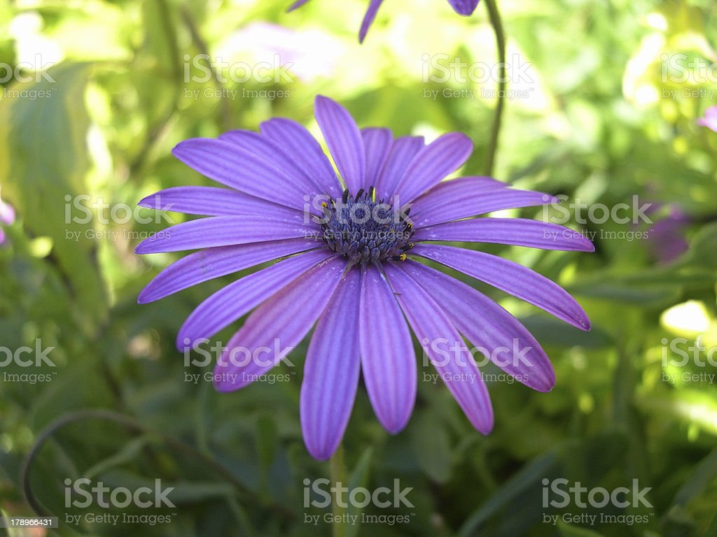 Vibrant Purple Freeway Daisy Flower stock photo