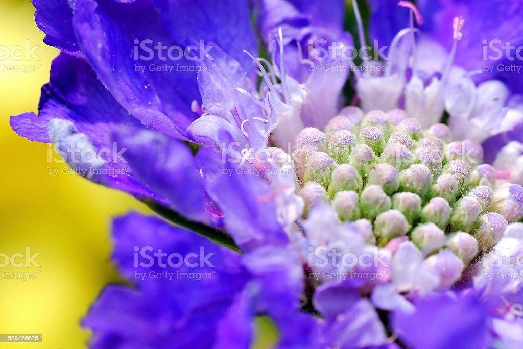 Vibrant purple fuzzy flower against beautiful yellow background vibrant purple fuzzy flower against beautiful yellow background royalty free stock photo mightylinksfo
