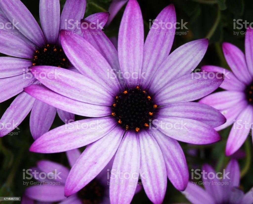 Vibrant Purple Marguerites royalty-free stock photo