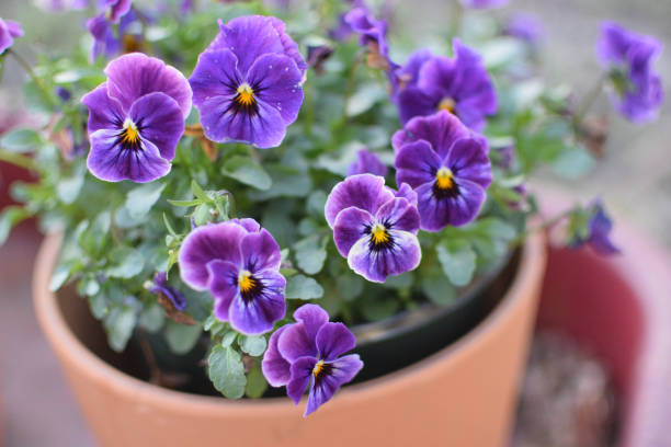 Vibrant Purple Spring Violets in Terracotta Pot Vibrant Purple Spring Violets Planted in Terracotta Pot in the Garden pansy stock pictures, royalty-free photos & images