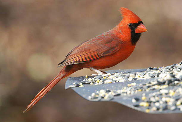 Vibrant Red Male Cardinal stock photo