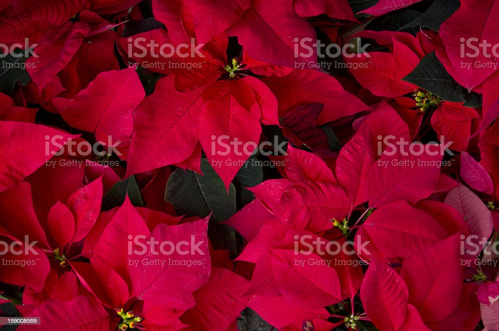 Vibrant Red Poinsettias royalty-free stock photo