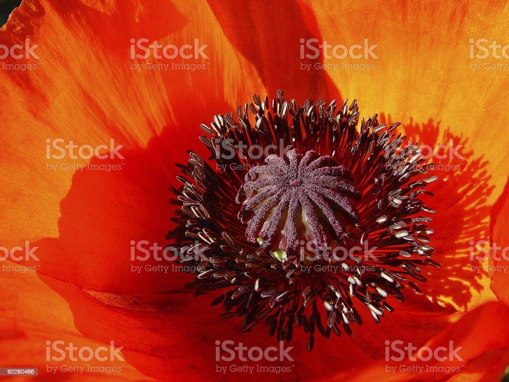 Vibrant Red Poppy Papaver orientalis royalty-free stock photo