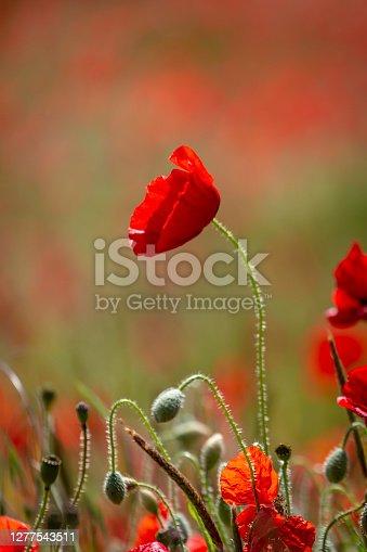 istock A Vibrant Red Poppy 1277543511