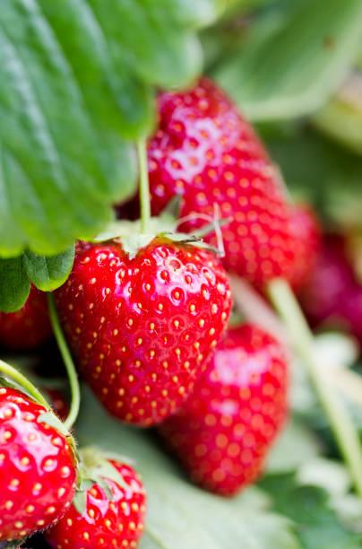 Vibrant red strawberries on shrub branch macro close up stock photo