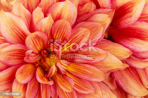 Vibrant red-yellow dahlia flower close-up, floral background