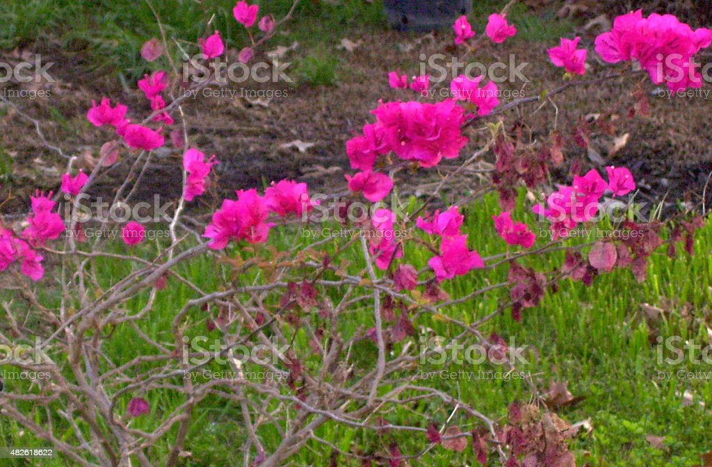 Vibrant Rose-Colored Flowers Growing on a Bush stock photo