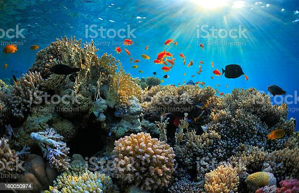 A Vibrant Shallow Coral Reef With Fish Surrounding It Stock Photo - Download Image Now