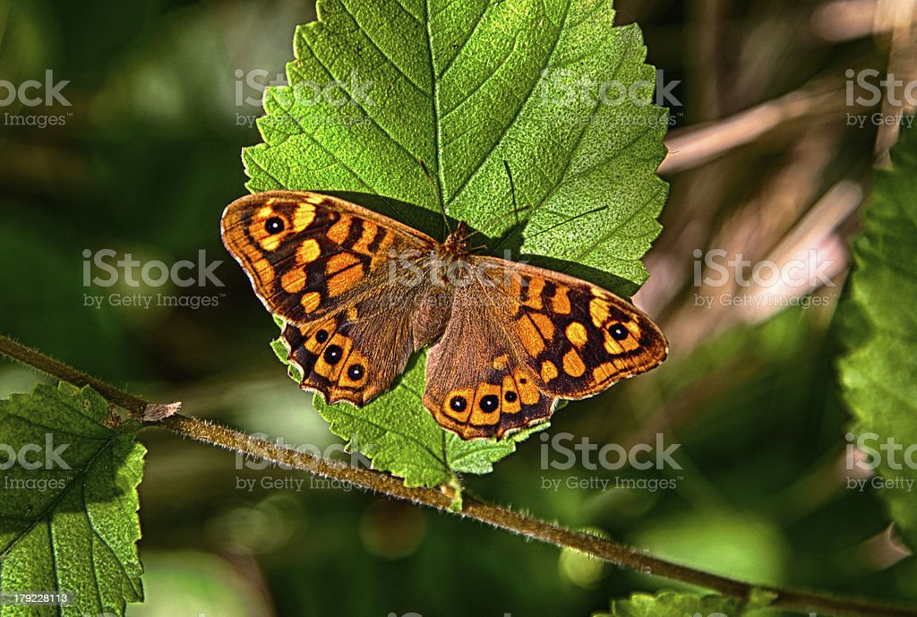 Vibrant Speckled wood royalty-free stock photo