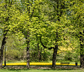 Vibrant spring colour of city park. Green trees and yellow flowers with path and bench.