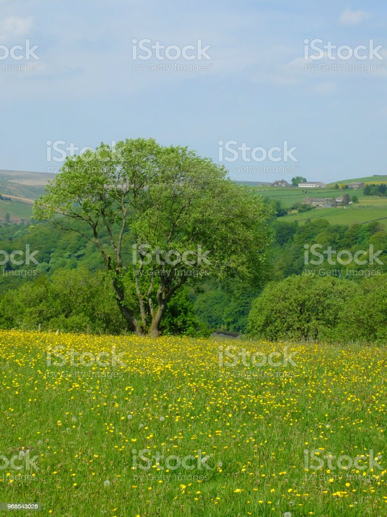 vibrant spring meadow with large tree with yellow flowers and surrounding trees with hillside fields in yorkshire dales countryside with bright blue sky stock photo