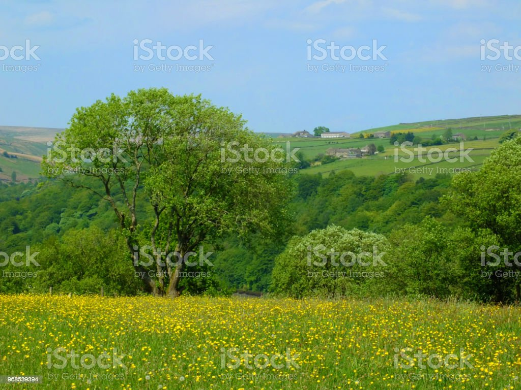 vibrant spring meadow with yellow flowers and surrounding trees with hillside farmland and fields in countryside with bright blue sky stock photo