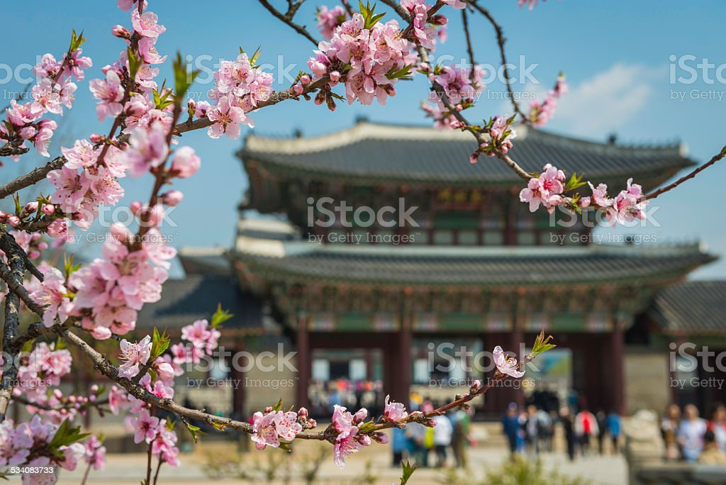 Vibrant spring pink cherry blossom framing temple pagoda Seoul Korea stock photo